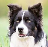 14351943-adorable-german-shepherd-puppy.