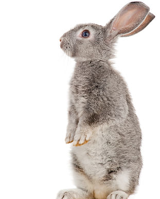 Gray rabbit.jpg