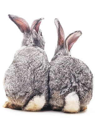 Grey baby rabbits on a white background.