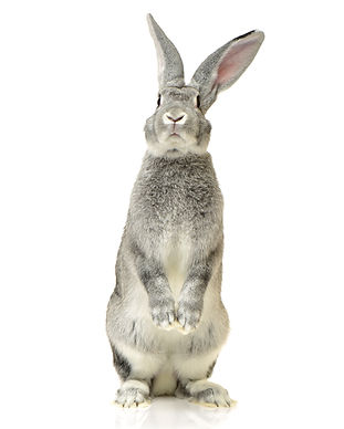 grey rabbit on a white background.jpg