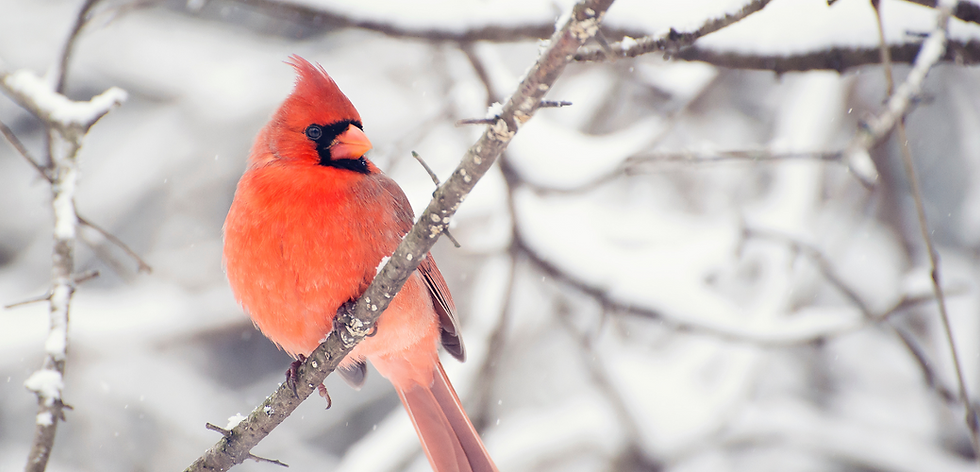 cardinal in snow.png