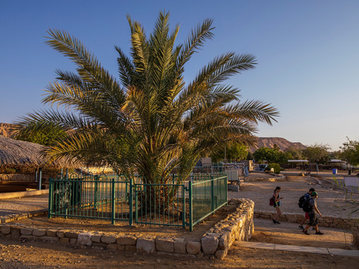A 2000-Year Old Date Palm Finally Becomes a Father & More...