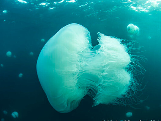 Come on 2020! Monster Jellyfish Invade Israel