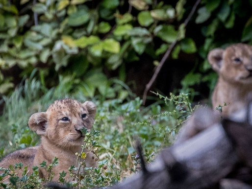 Jerusalem's Biblical Zoo Welcomes New Baby Lions of Zion