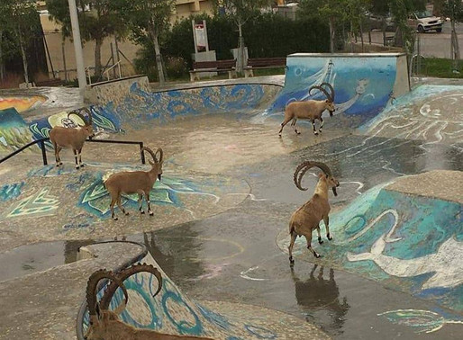 Ibexes (Yaels) Going to the Skate Park