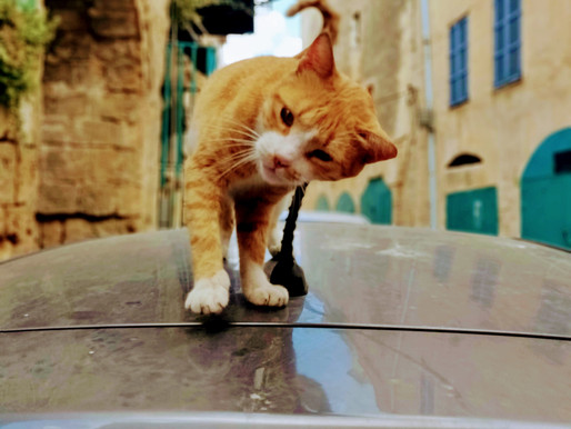 Meet the Cats of Israel - All 2 Million of Them!