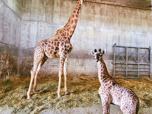 Babies @ the Jerusalem Biblical Zoo: Lions, Black Swans & a Giraffe!