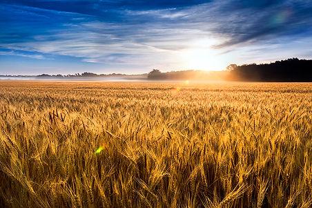 golden-wheat-field-sunrise-ricardo-reitm
