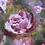 Thumbnail: Pink Roses