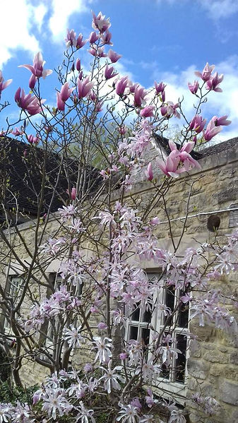 A Magnolia in bloom in Langford in The Land of The Twelve Churches