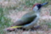 Green woodpecker at Filkins Vicarage in The Land of the Twelve Churches