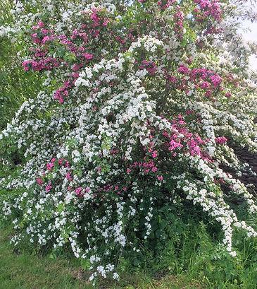 Unusual bush between Filkins & Broadwell