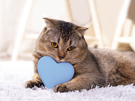 brown-scottish-fold-cat-with-white-heart