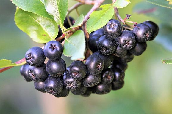 Aronia Berry Tree
