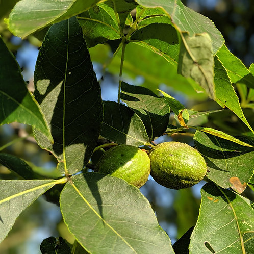 Hickory Nut Tree