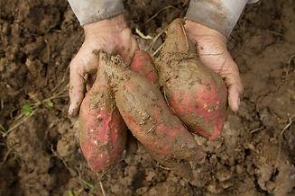 sweet potato at farm on hand.jpg