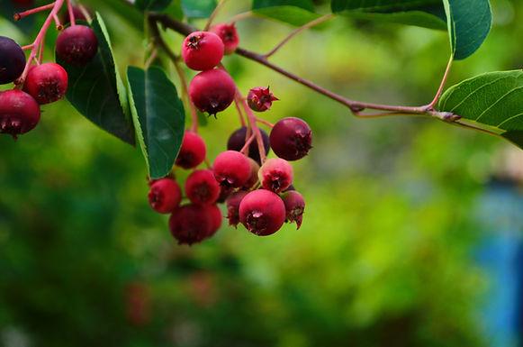Serviceberry Bush