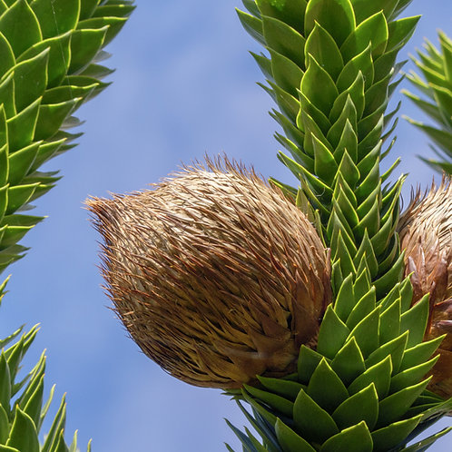 Monkey Puzzle Nut Tree