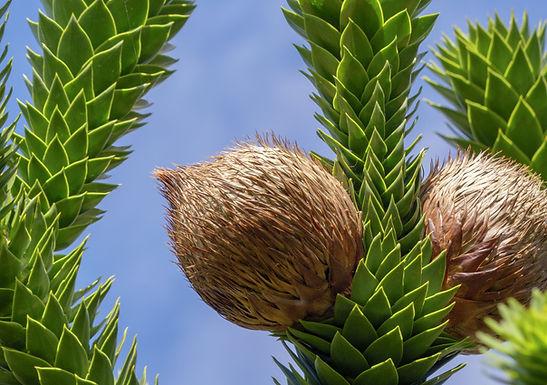Monkey Puzzle Nut Tree