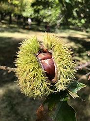 Chestnut burr all filled out .jpg