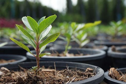 Tree seedlings in pots..jpg