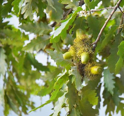 Burr Oak Tree