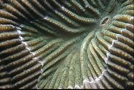 Brain Coral Polyp_1.JPEG