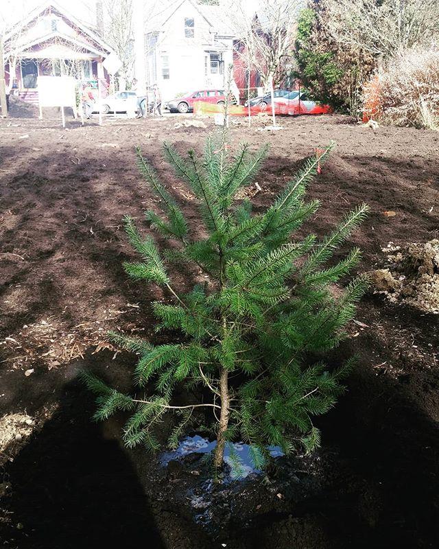 Doug fir