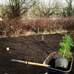 It's our first little tree planted in the Grove_ Western Hemlock (Tsuga heterophylla)! Thank you _bo