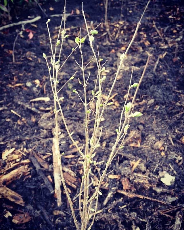 Newly planted #snowberry in the Grove putting on leaves!_._._._._._