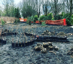 Today_ The WILLOW planting! 72 native Sitka & Pacific willows in the ground to begin our gazeboo & t