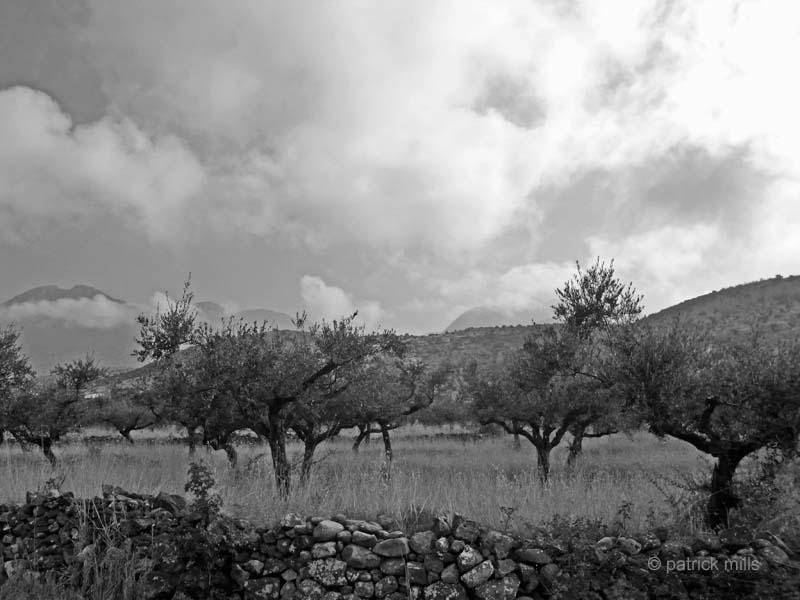 greek olive trees