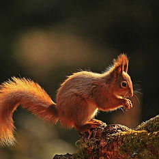 Conservation of the Red Squirrel, National Trust of Scotland