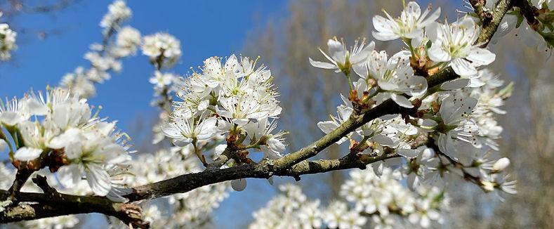 Prunus-blossom.jpg