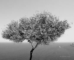 olive tree mallorca