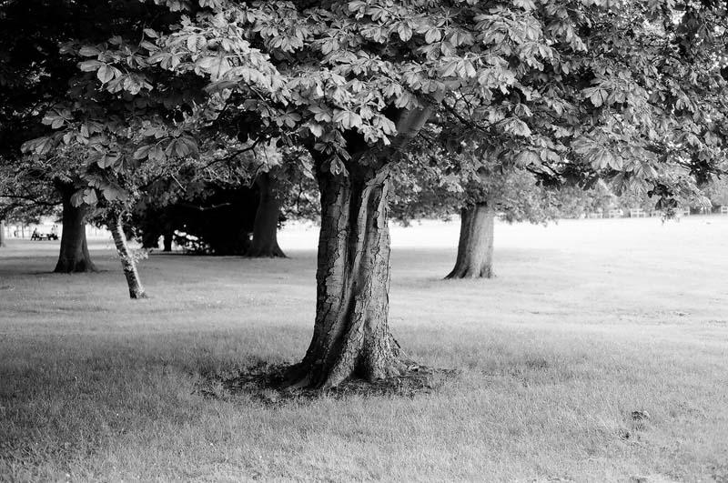 peckham rye tree