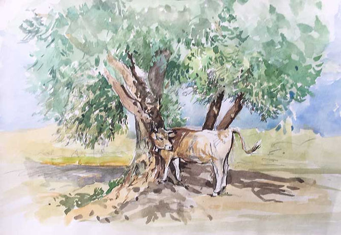Cow under Olive Tree, Italy