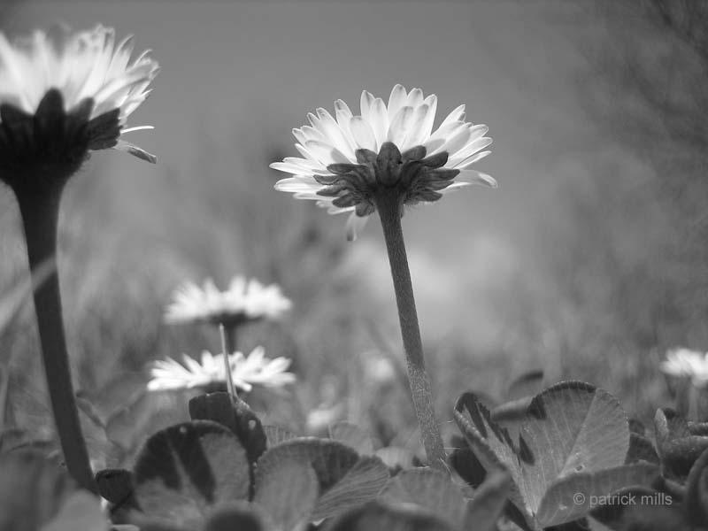 daisies saulchoy