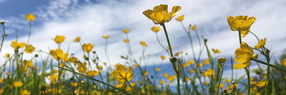 Buttercups-1.jpg