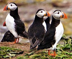 Studying Puffins in Mingulay