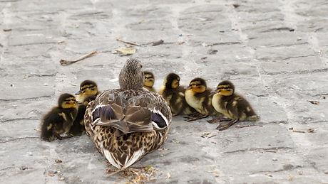 family ducks.jpeg