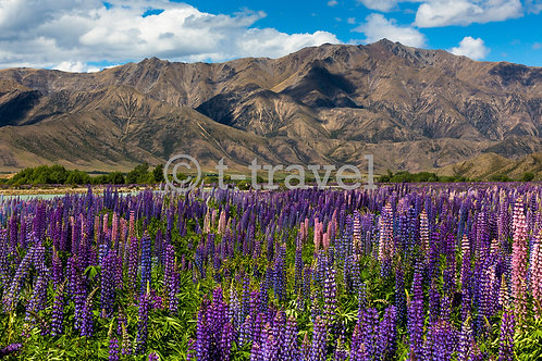 Lupin Flowers Lindis Pass