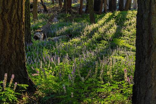 Crescent Meadow VII (Sequoia NP)