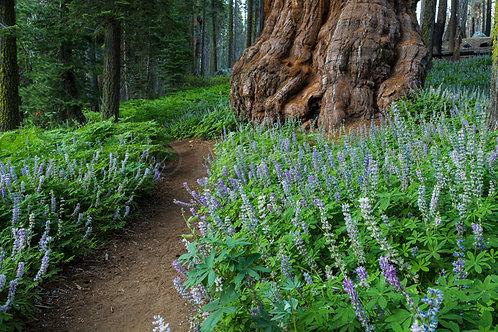 Crescent Meadow II (Sequoia NP)