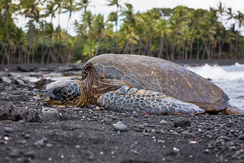 Black Sand Beach - Turtle I