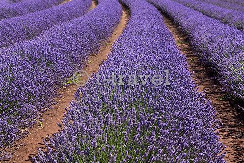 Tasmania Lavenders III