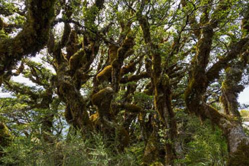 Moss Trees at Key Summit