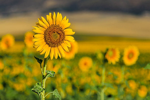 Sunflowers - Rural Spain