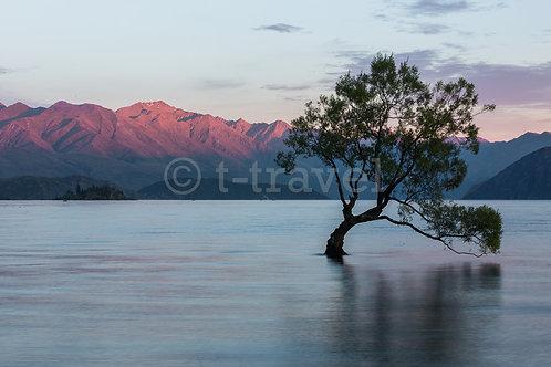 Lone Tree I - Lake Wanaka