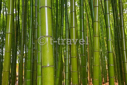 Adashino - Bamboo Grove VI